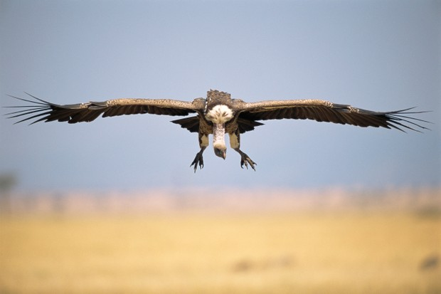 A Ruppell's griffon vulture was recorded flying at almost 11.5 kilometres high. © James Warwick