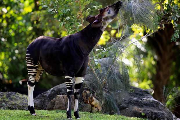 Okapi in captivity. © Jurgen & Christine Sohns/Getty