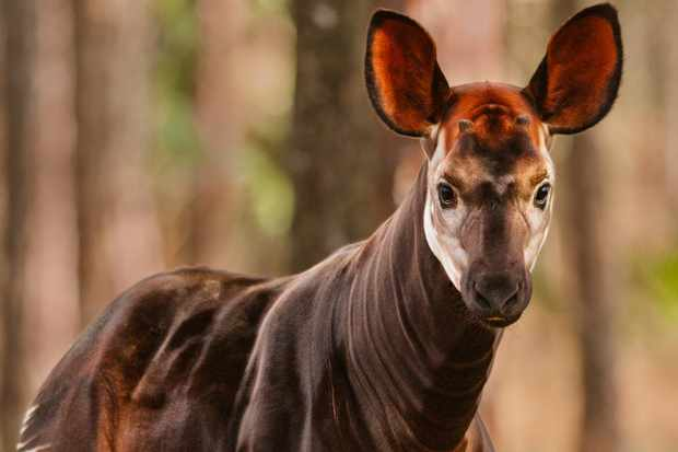 Wild okapi are only found in the rainforests of the Democratic Republic of Congo. © Mint Images/Frans Lanting/Getty (photographed in captivity)