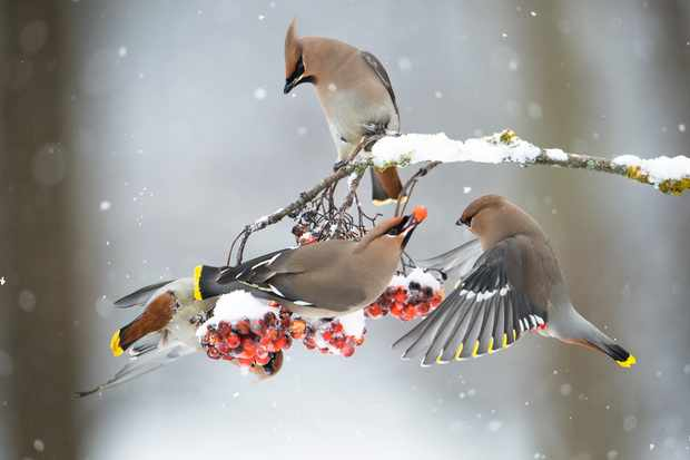 Waxwings feeding on rowan berries. © Berndt Fischer/Getty