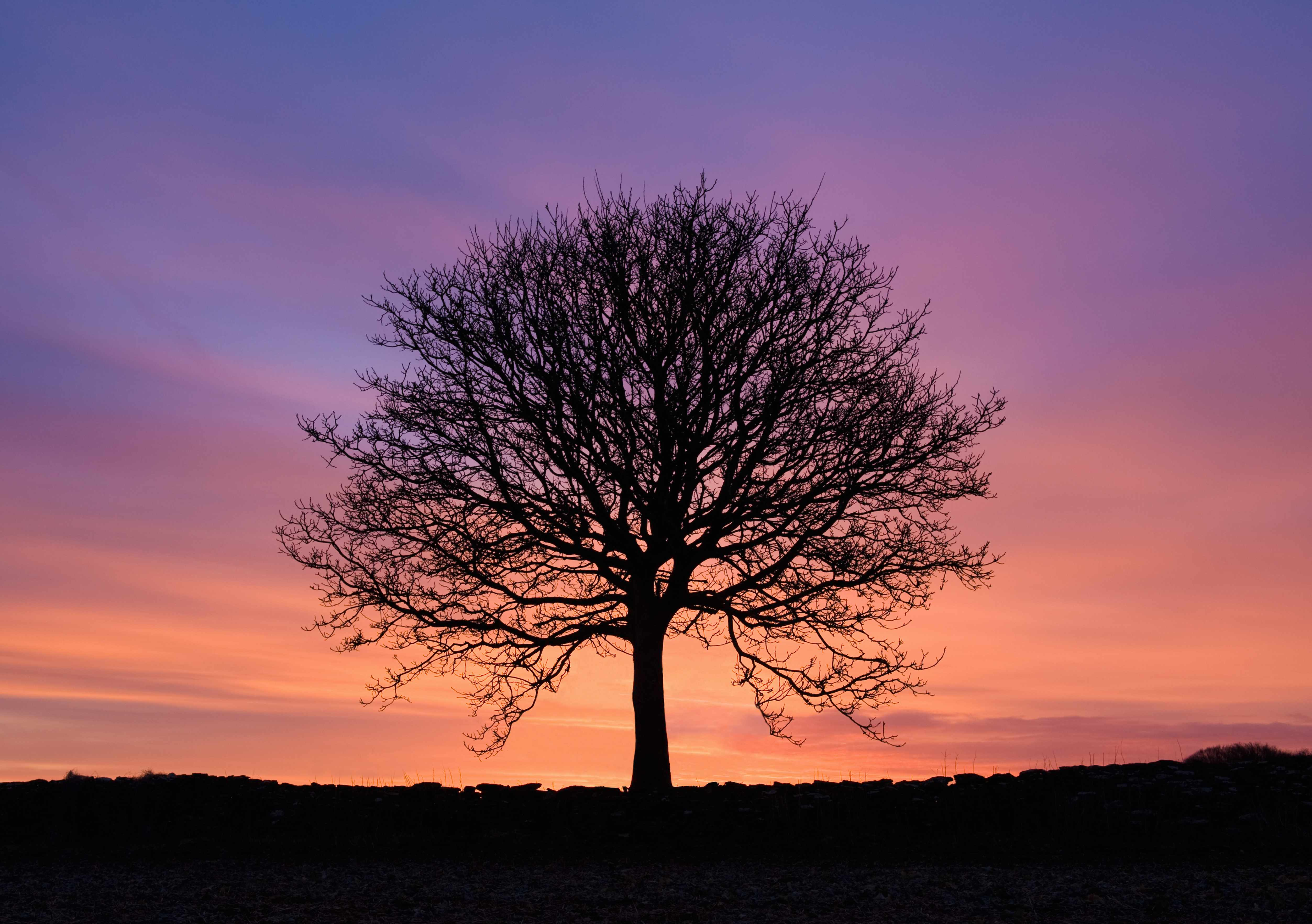 Silhouetted bare ash tree at sunset. © Henry Arden/Getty