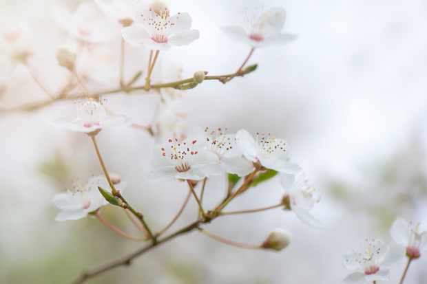 Close-up wild cherry blossom flowers. © Jacky Parker Photographer/Getty
