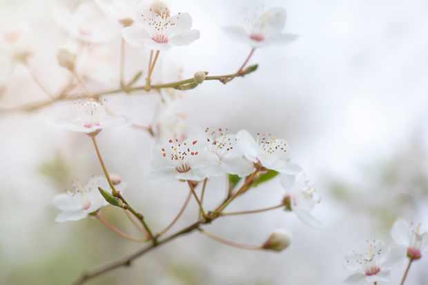 Close-up wild cherry blossom flowers. © Jacky Parker Photographer/Getty