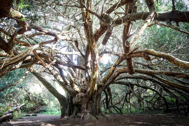 Yew trees at Kingley Vale National Nature Reserve. © Paul Mansfield Photography/Getty