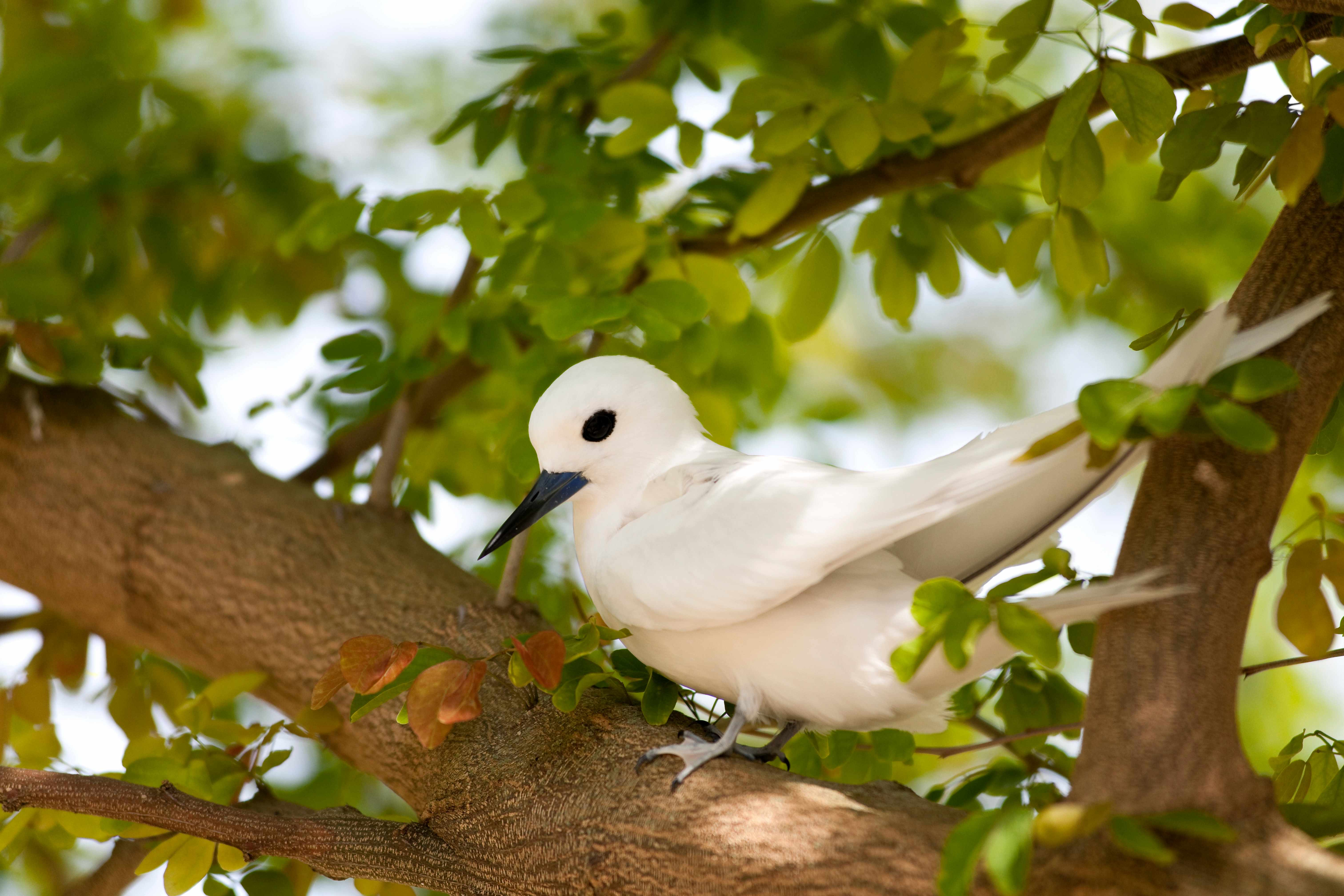 White tern on Midway Atoll in Hawaii. © Danita Delimont/Getty