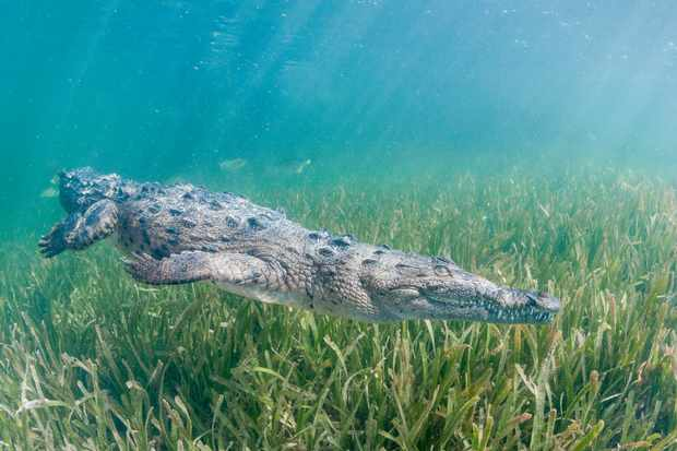 A Cuban crocodile dives down to the bottom of the swamp. © Getty