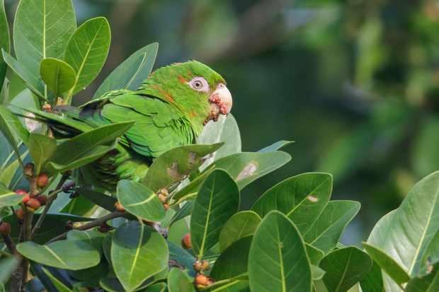 Cuban parakeet perched on a branch in Cuba. © Glenn Bartley/Getty