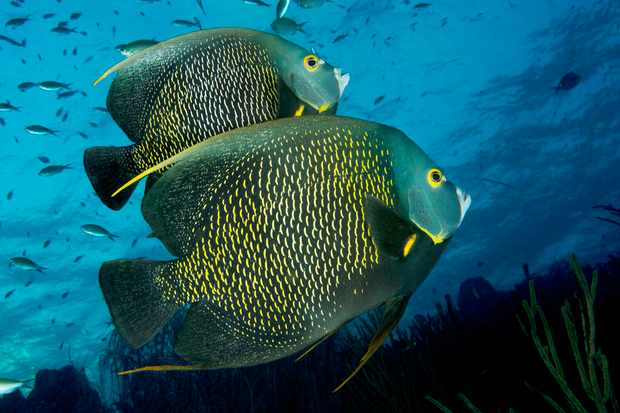 A pair of adult French angelfish over the Caribbean coral reef. © Eco UIG/Getty