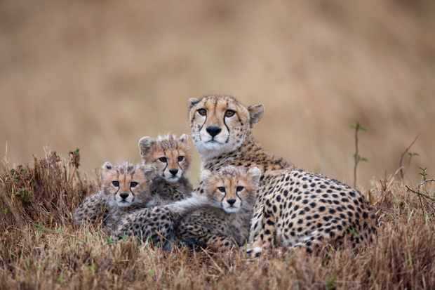 Cheetah family in the Masai Mara Game Reserve, Kenya © Paul Souders/Getty