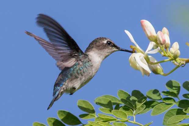Bee hummingbird feeding at a flower in Cuba. © Glenn Bartley/Getty