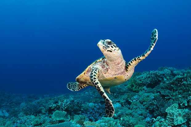 A hawksbill turtle. © Dave Fleetham/Getty