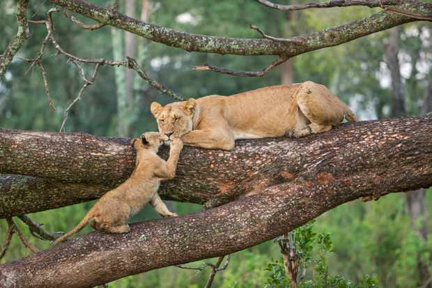 Lioness and her cub. © Jonathan & Angela Scott/Getty