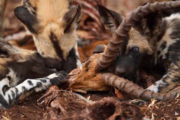 African wild dogs feeding on an antelope. © Staffan Widstrand/Getty