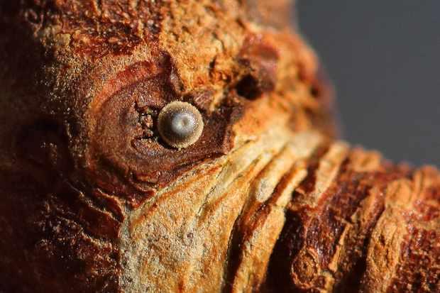 White-letter hairstreak egg at Lennel. © Iain Cowe