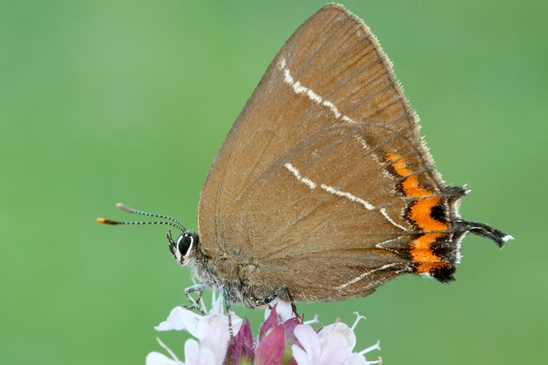 An adult white-letter hairstreak. © Iain H Leach/Butterfly Conservation