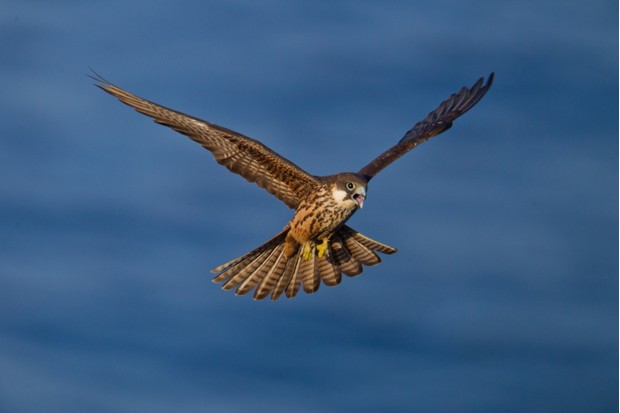 Eleonora's falcon (Falco eleonorae) in flight
