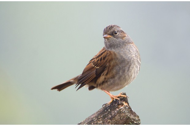 Dunnock (Prunella modularis) on a stump.