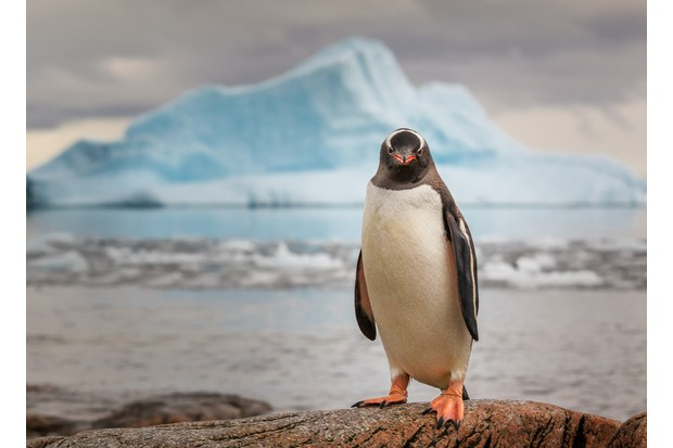 A gentoo penguin in front of an iceberg.