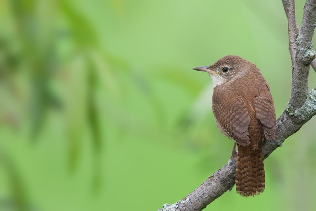 House Wren (Troglodytes aedon) perched on a small branch