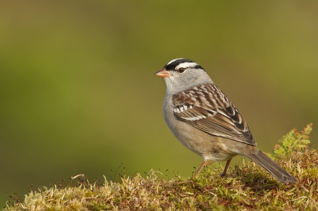 White crowned sparrow (Zonotrichia leucophrys) perching on moss in Quebec, Canada