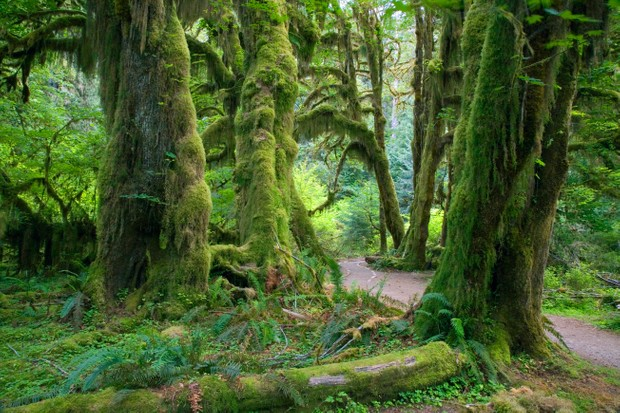 Moss-covered trees in Olympic National Park