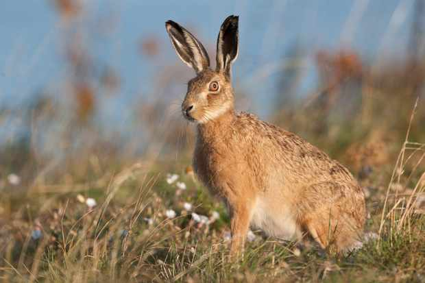 Brown hare in Norfolk. © Mike Powles/Getty