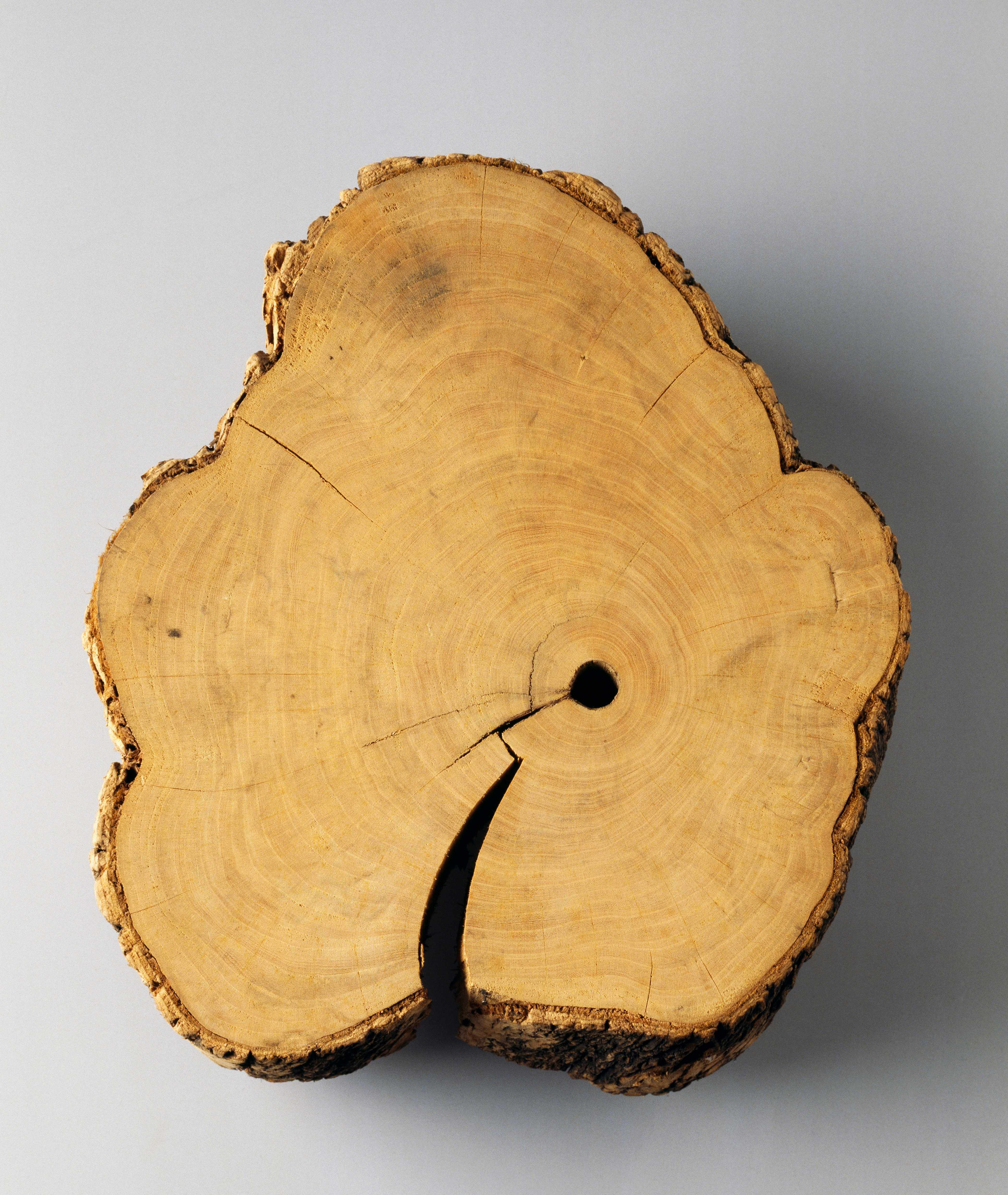 With careful counting, it's possible to judge how old a tree was when it was felled. © DEA/G. Cigolini/Getty