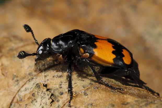 The Common sexton beetle Nicrophorus vespilloides in Clumber Park, Nottinghamshire. © FLPA/Dave Pressland/Getty
