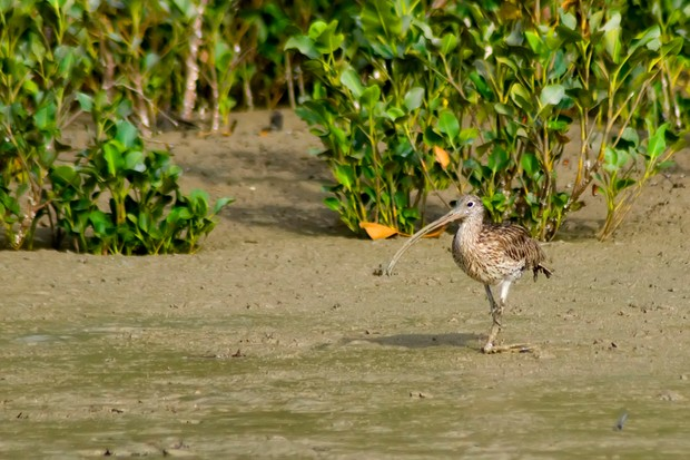 The far eastern curlew (N.madagascariensis) is the largest curlew. © Auscape/UIG/Getty