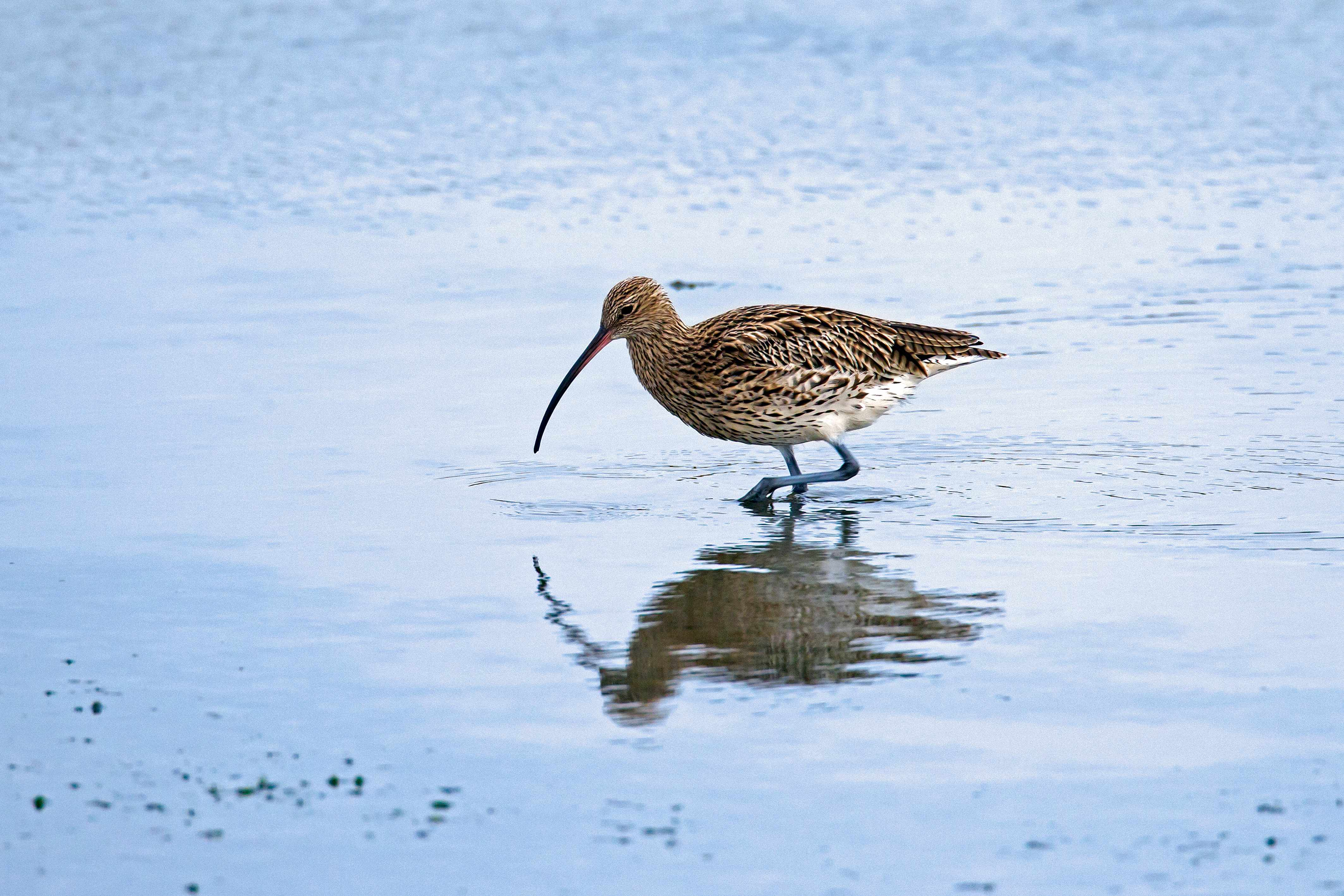 The Eurasian curlew is listed as Near Threatened on the IUCN Red List. © Arterra/UIG/Getty