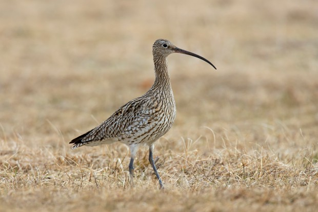 The Eurasian curlew is one of two curlew species found in the UK. © Arterra/UIG/Getty