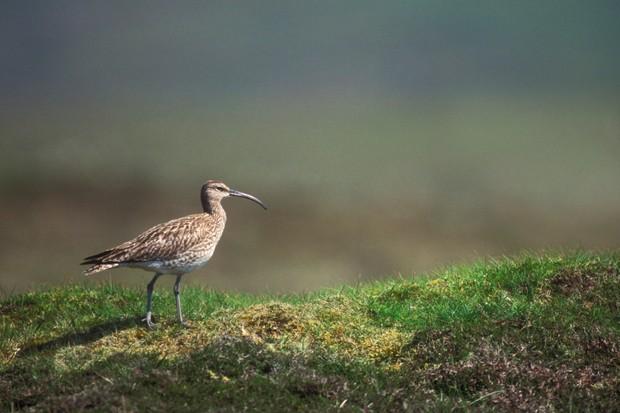 A whimbrel on Shetland. © Arterra/UIG/Getty