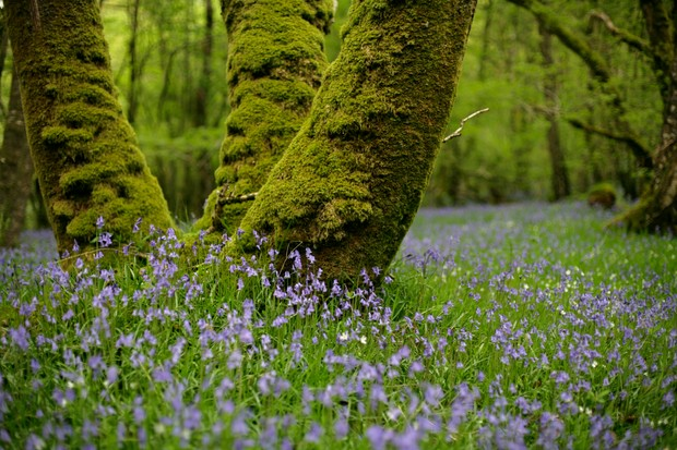 Bluebells at The Wood of Cree © Andy Hay