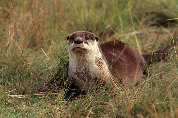 An African clawless otter in veld in Free State Province (South Africa) © Roger de la Harpe / Getty