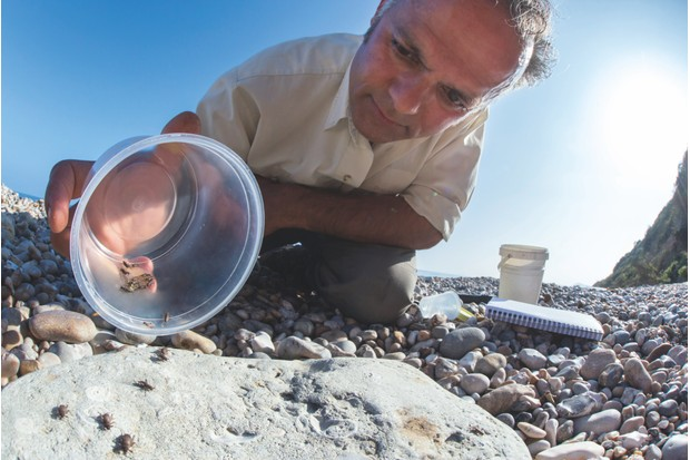 Professor Karim Vahed releasing captive-bred scaly crickets on a shingle beach © Alex Hyde