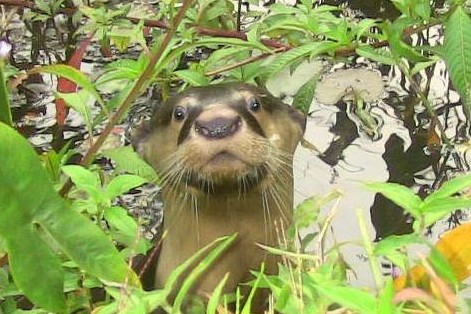 Congo clawless otter © Rita Chapman / International Otter Survival Fund