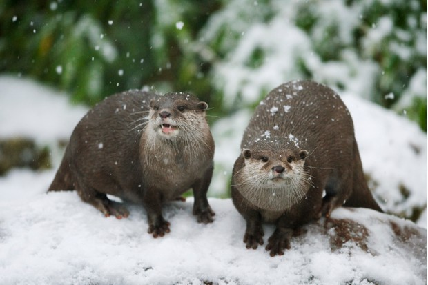 Captive Asian small-clawed otters in the snow (Amblonyx cinereus)