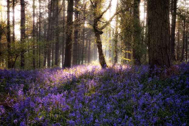 Sunrise over bluebells in Warwickshire. © Ben Waters/Getty