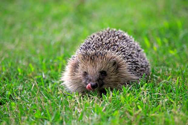 European hedgehog. © Getty