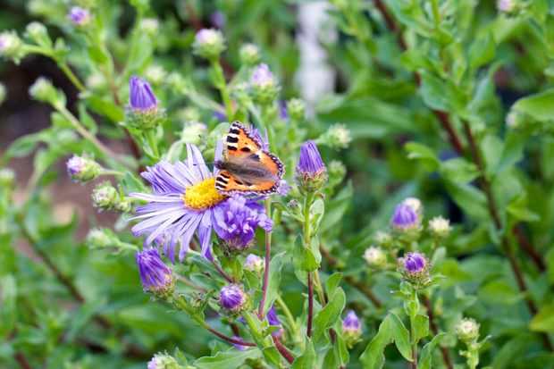 Small tortoiseshell butterfly. ©Paula French/Getty