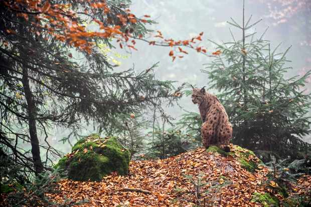 Eurasian lynx (in mainland Europe) during autumn. © Arterra/UIG/Getty