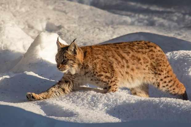 Eurasian lynx (in mainland Europe) hunting during winter. © Arterra/UIG/Getty