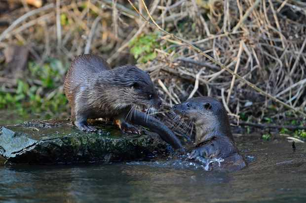 Two Eurasian otters on the River Thet in Norfolk © David Tipling / Getty