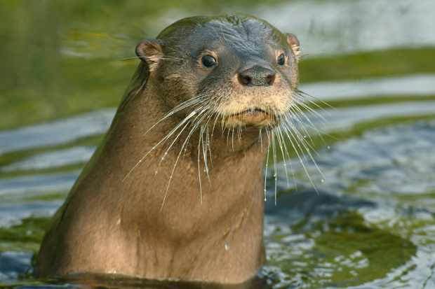 A South American river otter in Chiloe Island (Chile) © Kevin Schafer / Getty