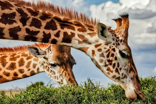 Giraffes grazing from the top of an acacia tree