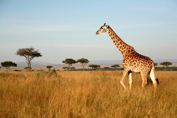 A giraffe walking on the plains in Kenya