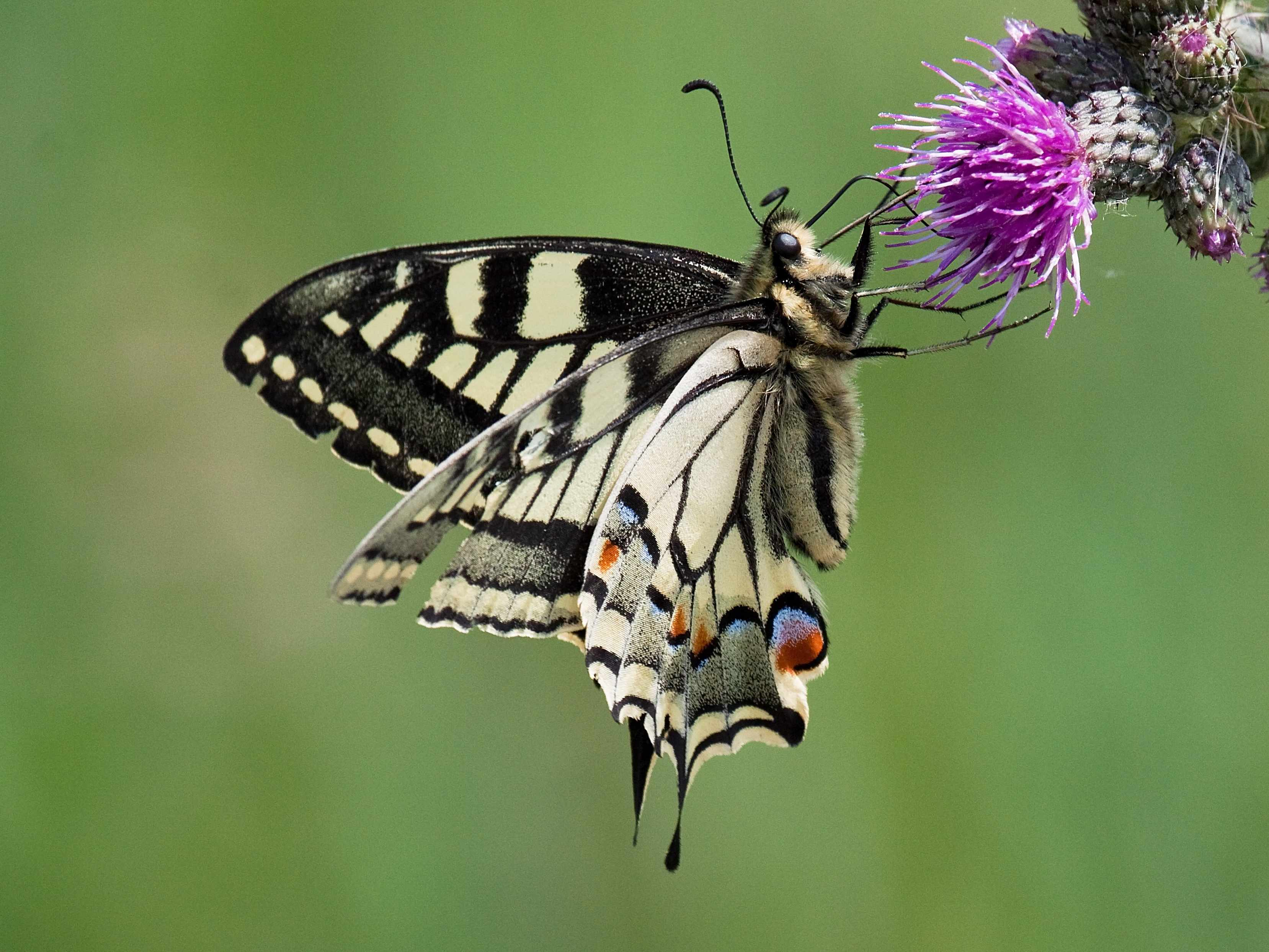 Swallowtail feeding on thistles in Norfolk. © David Martin/Getty