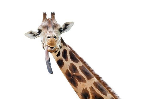 A giraffe sticking out its enormous tongue