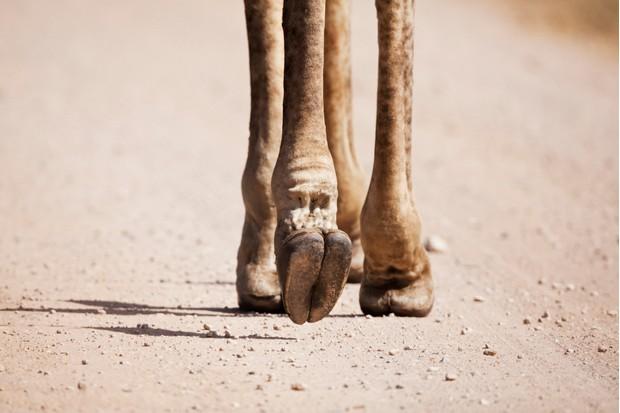 Giraffe (Giraffa camelopardalis) feet, Mpumalanga Province, South Africa