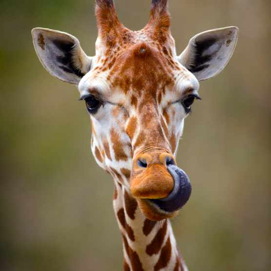 Giraffe Tongue Out Portrait